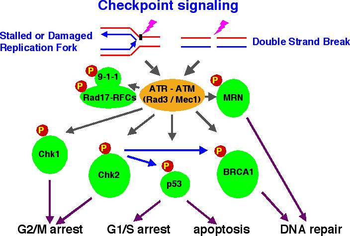 transduction du signal def